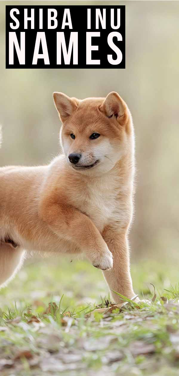 Shiba Inu Names What S The Best Name For Your Puppy