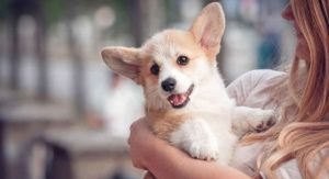 Welsh Dog Breeds – The Iconic Dogs Of Wales