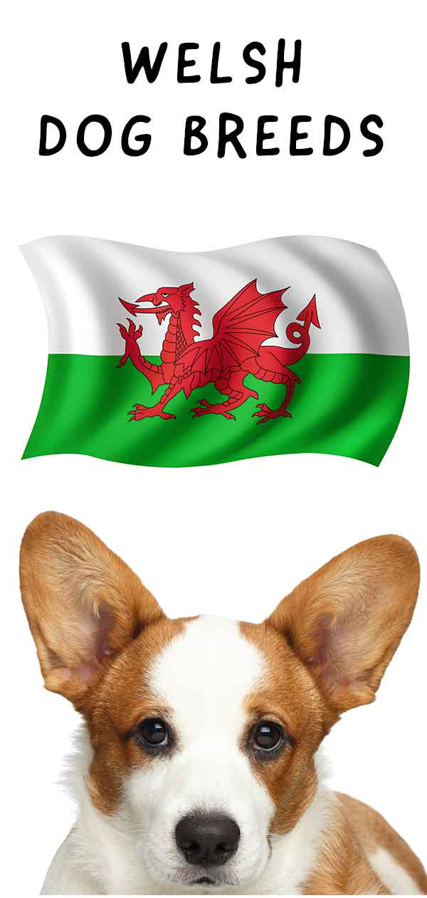 welsh dog breeds
