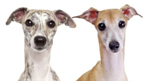 Whippet vs Italian Greyhound – How Do These Similar Dogs Differ?