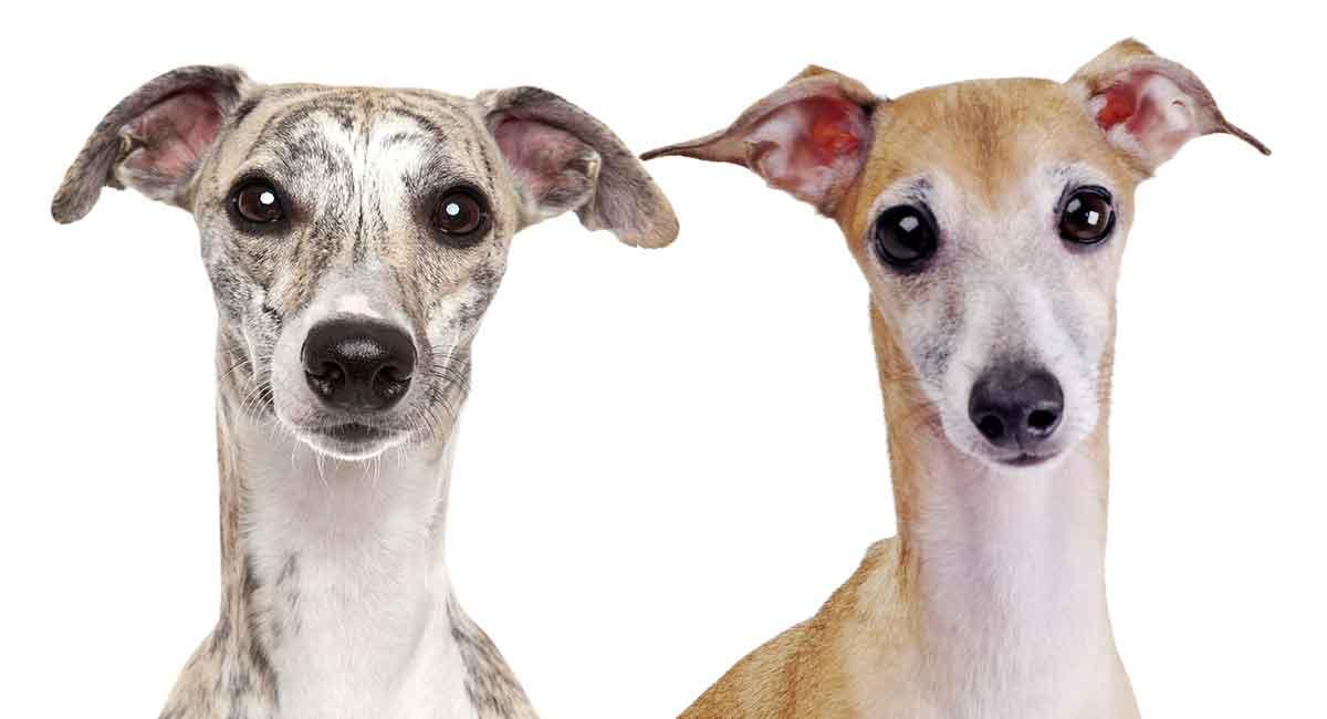 Whippet Vs Italian Greyhound The