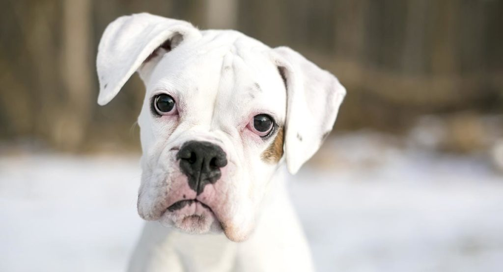 White Boxer Dog Pros And Cons Of