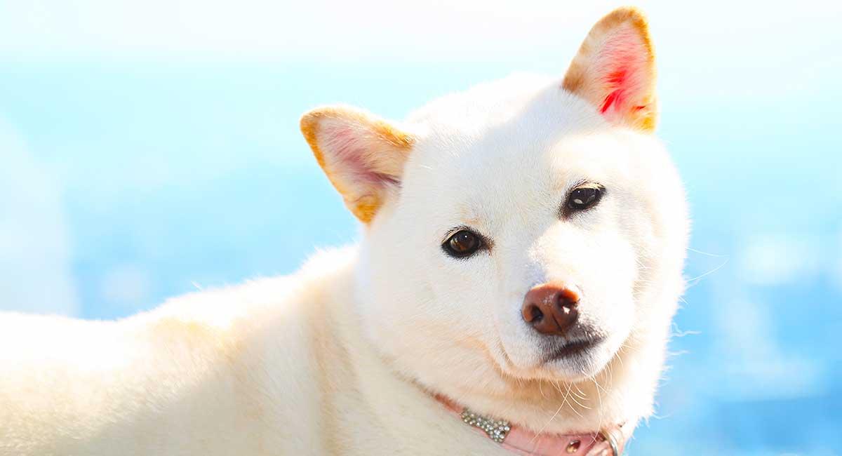 White Dog Names Amazing Name Ideas For Your New White Puppy