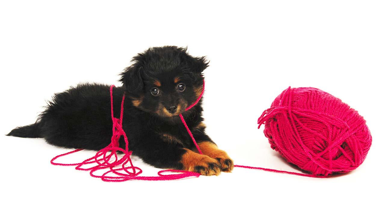 small poodle mixes - yorkipoo