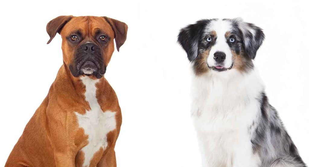 Boxer Aussie Mix - Is This Cross Of Well-Loved Breeds Right