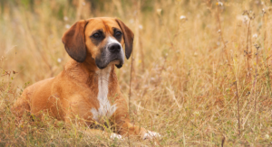 Beagle Mix Breed Dogs: A Complete Guide To Beagle Cross Breeds
