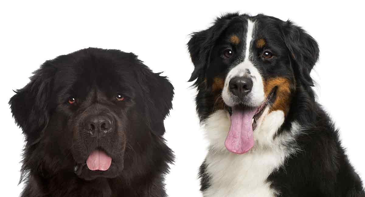 Bernese Mountain Dog Vs Newfoundland Which Giant Breed Is