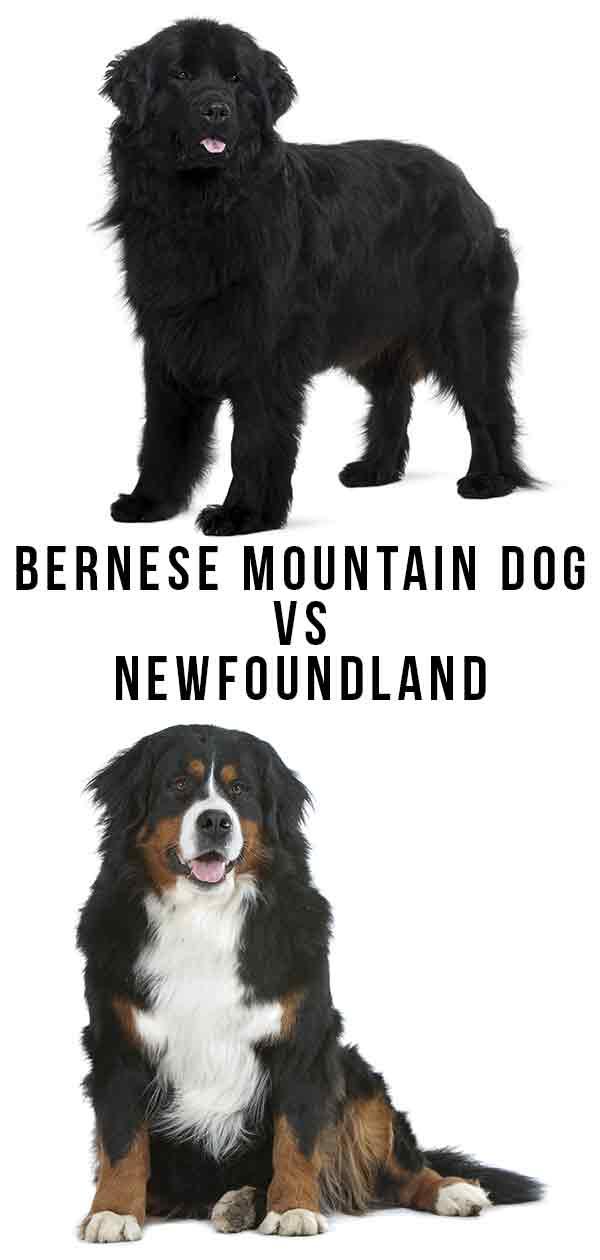 bernese mountain dog vs newfoundland