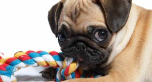 Best Toys for Pugs – Great Ideas to Keep Your Pup Happy