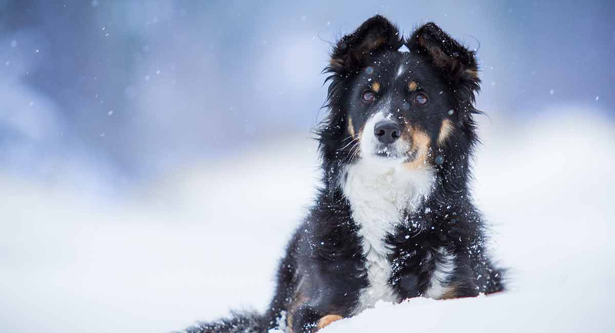 Border Collie Mixes Which Of These Inteeligent Crossbreeds Is For You