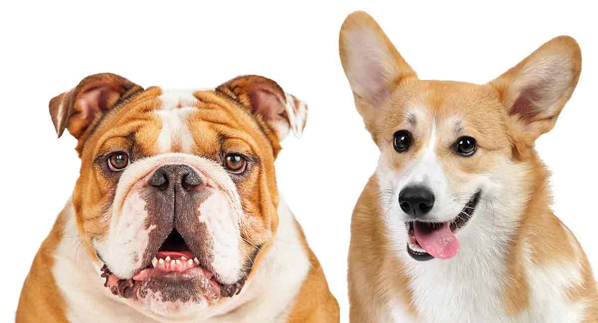 Corgi Bulldog Mix