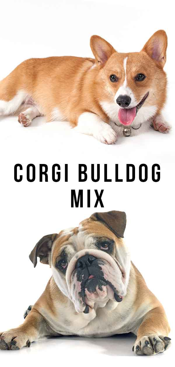 Corgi Bulldog Mix