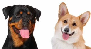 Corgi Rottweiler Mix – Would This Rare Crossbreed Be Right For You?