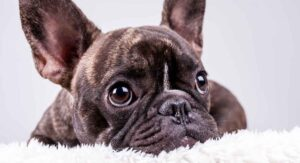 French Bulldog Breed Information Center – The Complete Frenchie Guide