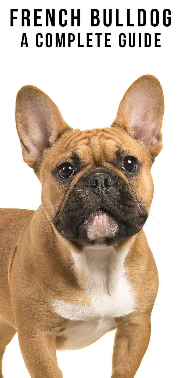 French Bulldog Breed Information Center The Complete Frenchie Guide