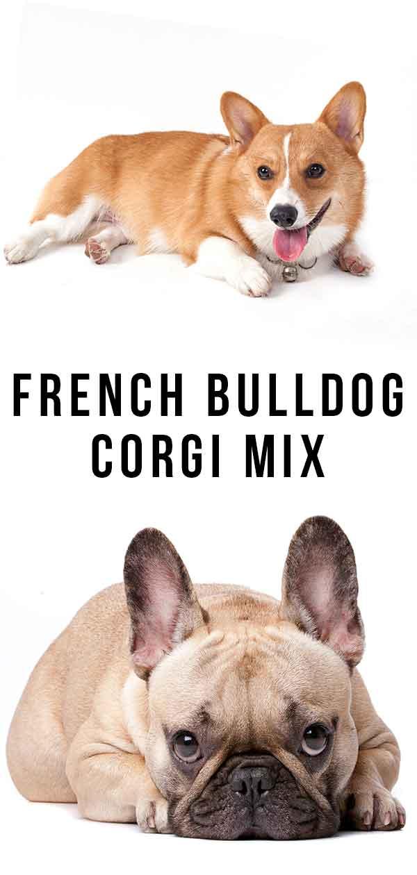 French Bulldog Corgi mix