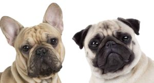 French Bulldog Pug Mix: Is This the Right Cross for You?