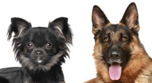 German Shepherd Chihuahua Mix