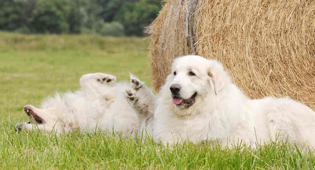 Great Pyrenees - spanish dog breeds