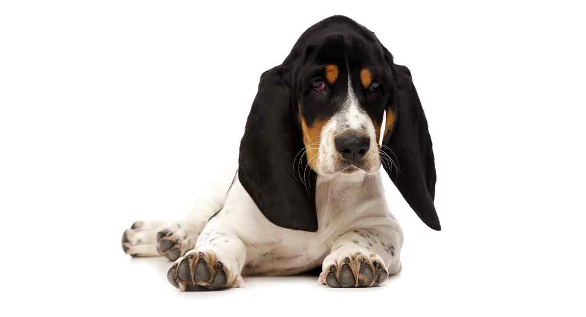Is the Miniature Basset Hound the Right Dog for You?