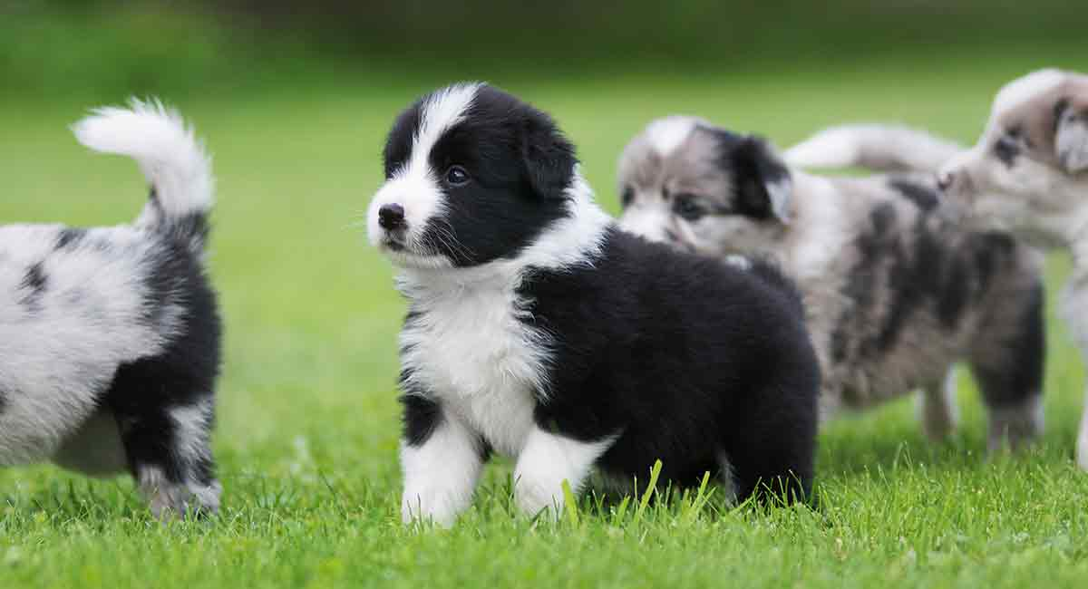 miniature border collie