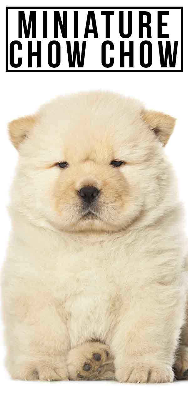 Miniature Chow Chow Everything You Need To Know About This Fluffy Pup