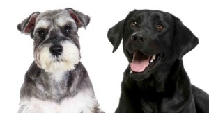 Schnauzer Lab Mix – Is This The Right Dog For You?
