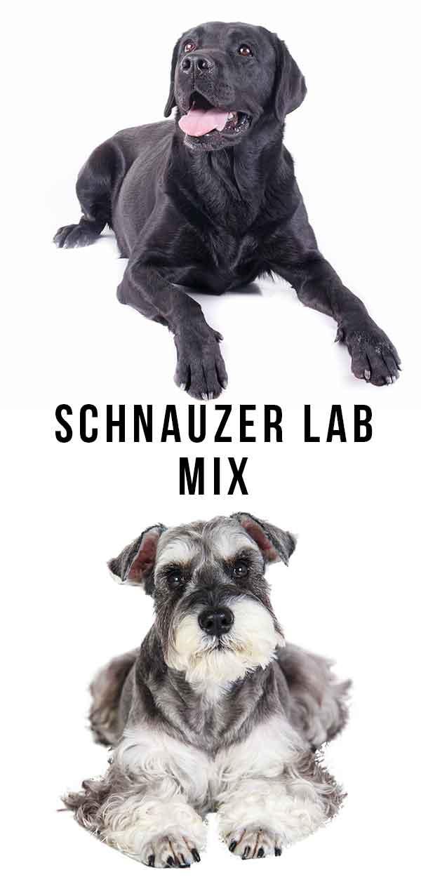 Schnauzer Lab mix