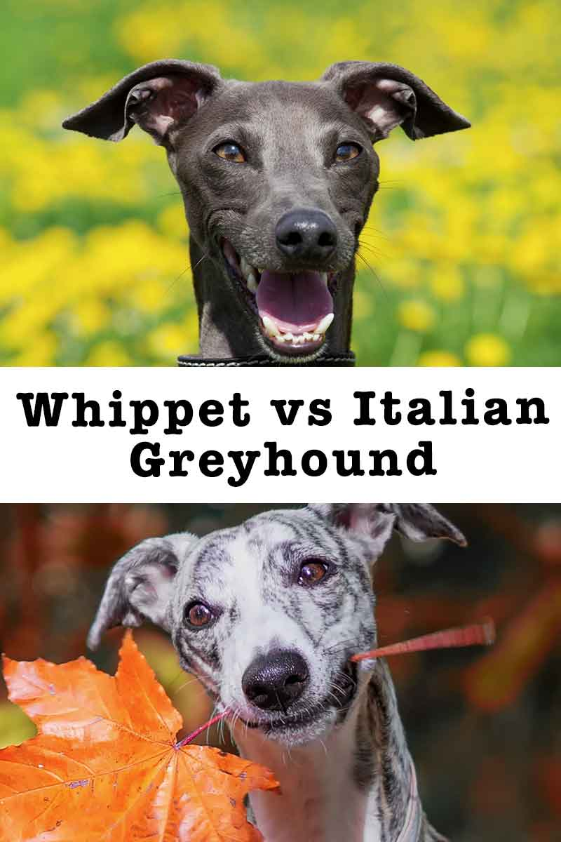 Which is better Whippet or Italian Greyhound.jpg