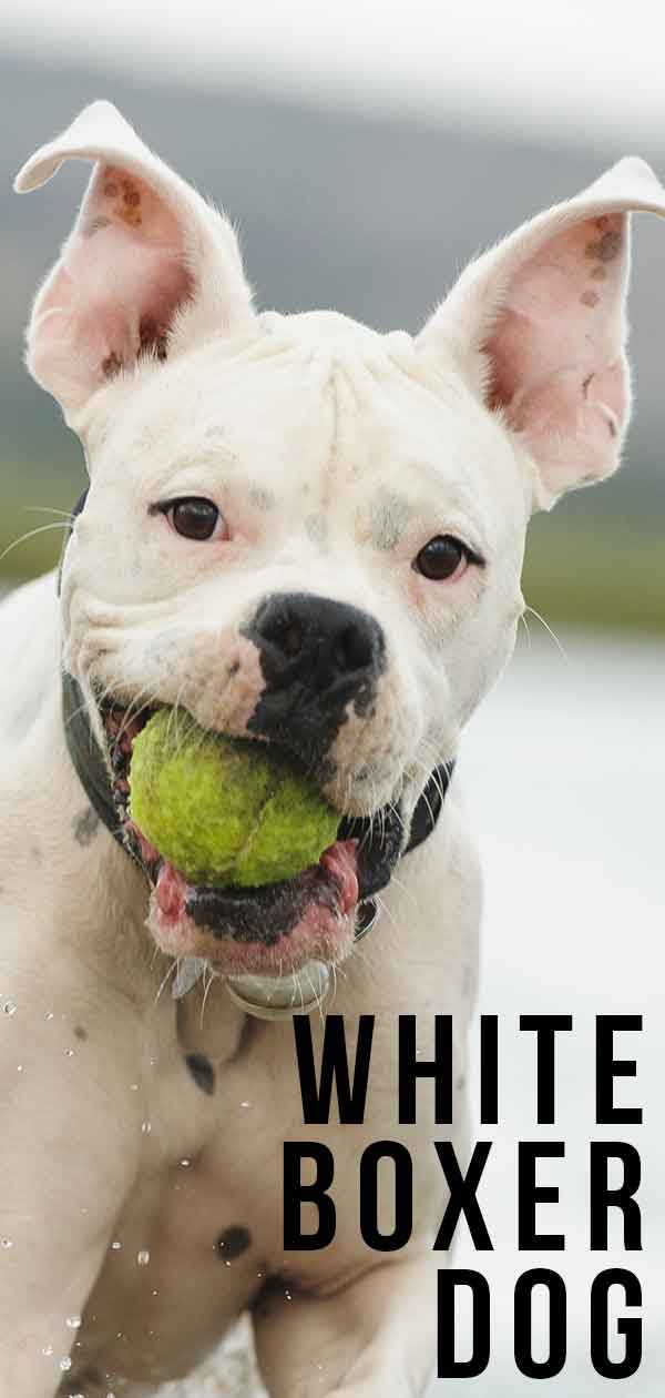 White Boxer Dog - Pros and Cons of Owning a White Boxer