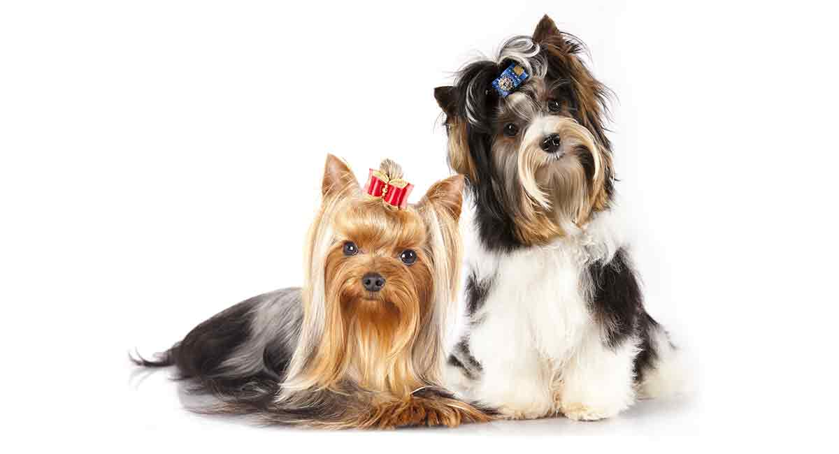 Yorkie Colors Find Out All The Possible Colors Of This Distinctive Breed