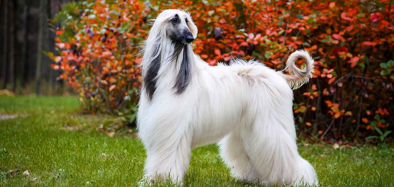 Afghan Hound Dog Breed Information Center A Guide To The Afghan Dog