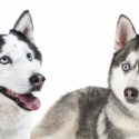 Alaskan Husky Vs Siberian Husky – What's The Difference?