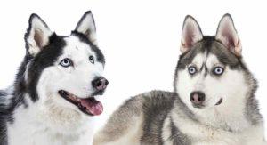 Alaskan Husky Vs Siberian Husky – What's The Difference?