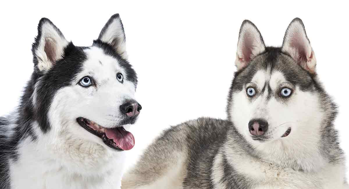 alaskan husky vs Siberian husky