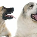 Anatolian Shepherd Great Pyrenees Mix—Is This The Right Pup For You?