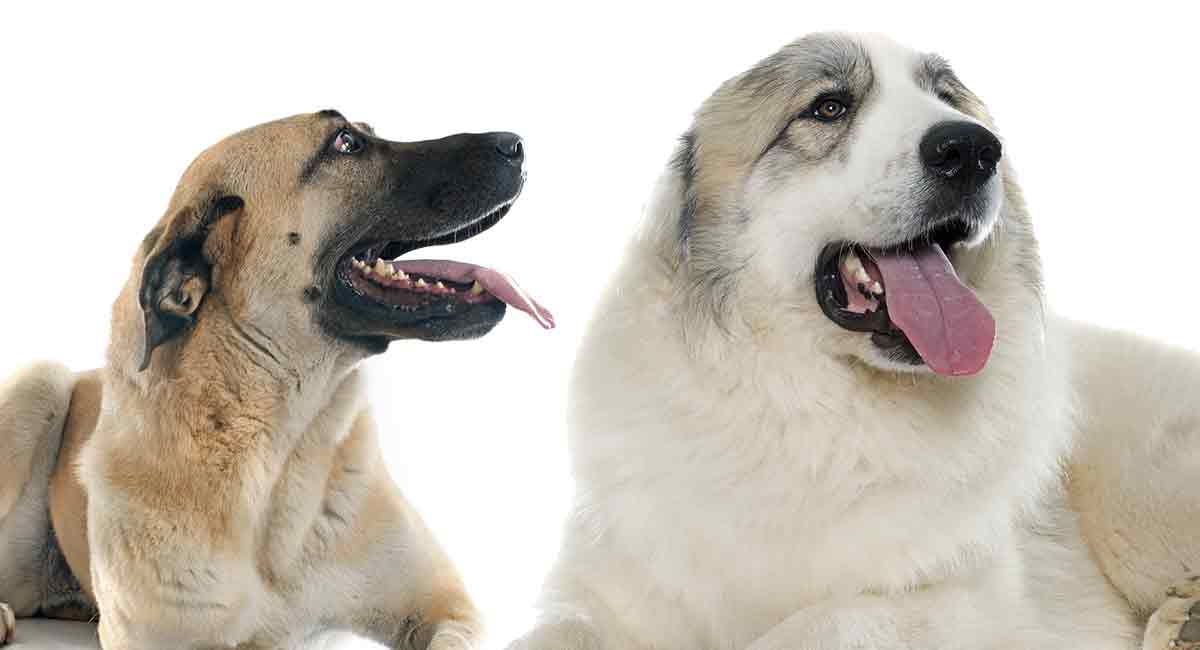 anatolian shepherd great pyrenees mix