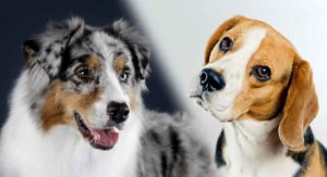 Australian Shepherd Beagle Mix – Could This Be the New Dog For You and Your Family?