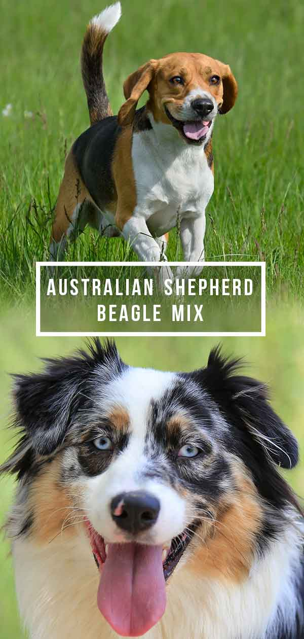 Australian Shepherd Beagle Mix