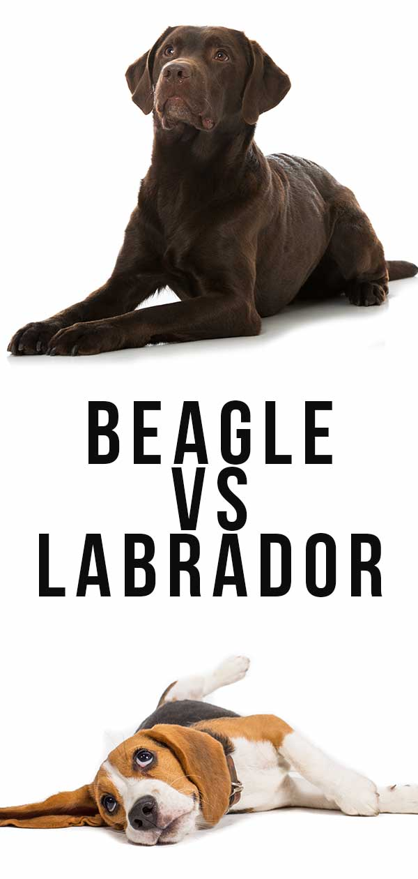 beagle vs labrador