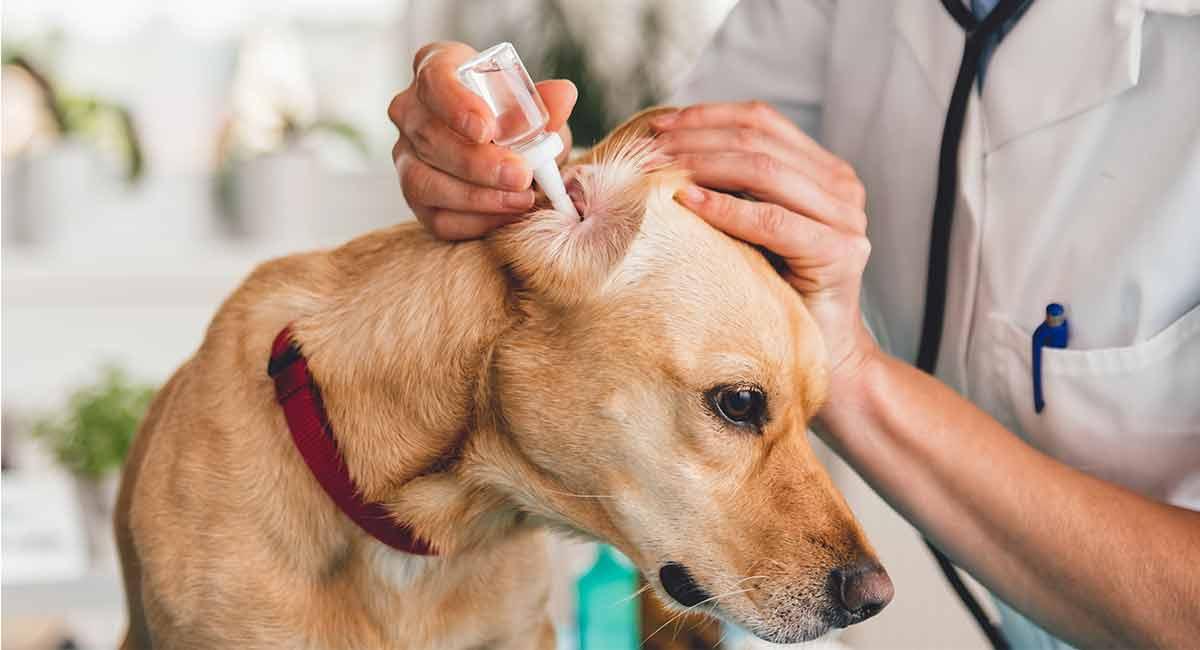 Best dog ear cleaner