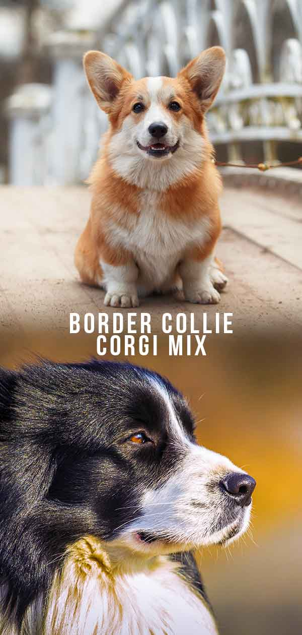 border collie corgi mix