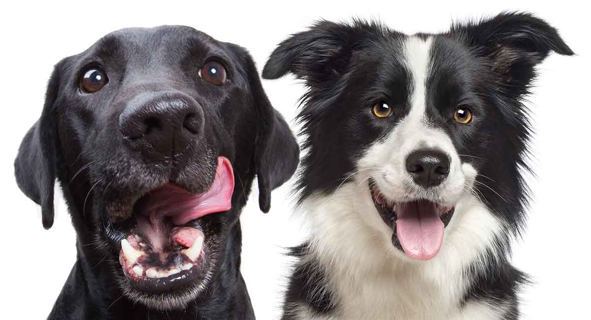 Border Collie Lab Mix Breed Information Center - Discover