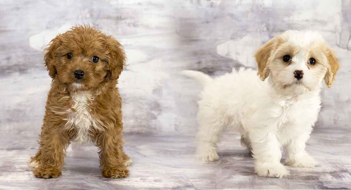 Cavachon Vs Cavapoo What S The