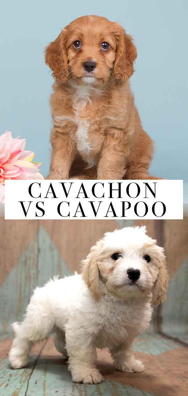 cavachon vs cavapoo