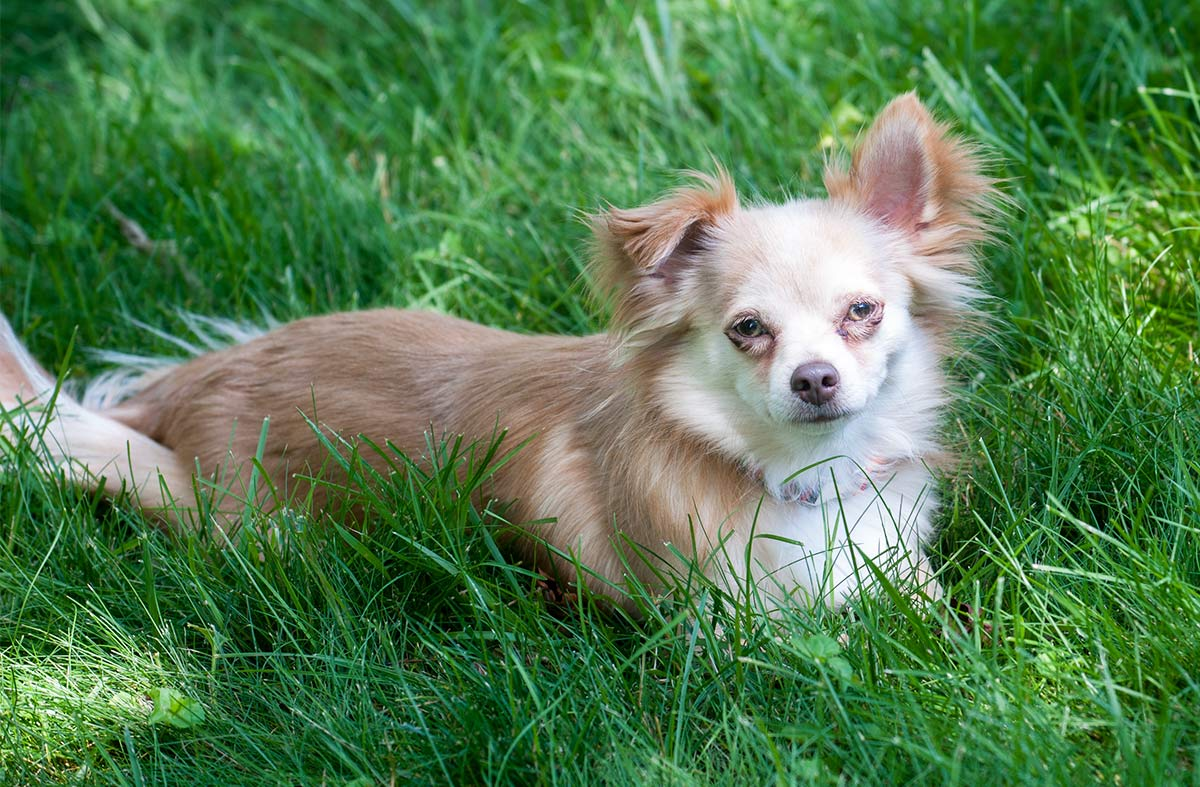 chion or papiwawa, a chihuahua papillon mix
