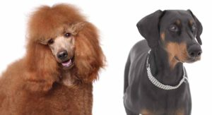 Doberman Poodle Mix – Is This Good Looking Hybrid Right For You?