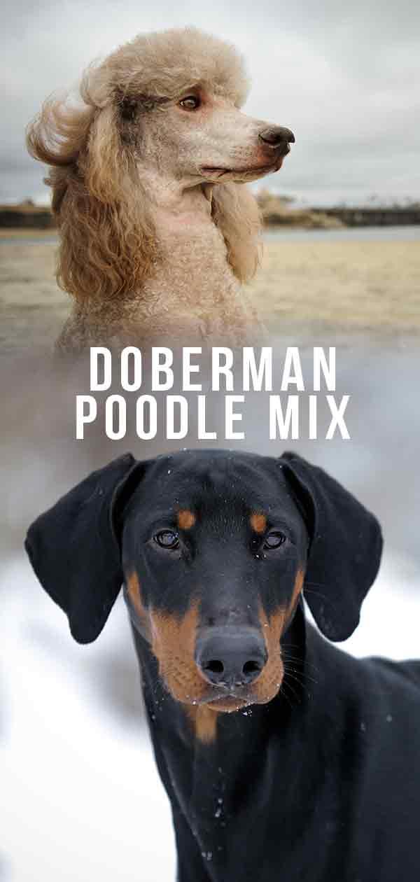 Doberman Poodle Mix