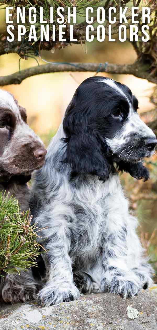 English Cocker Spaniel Colors Do You Know All The Variations Of This Popular Breed