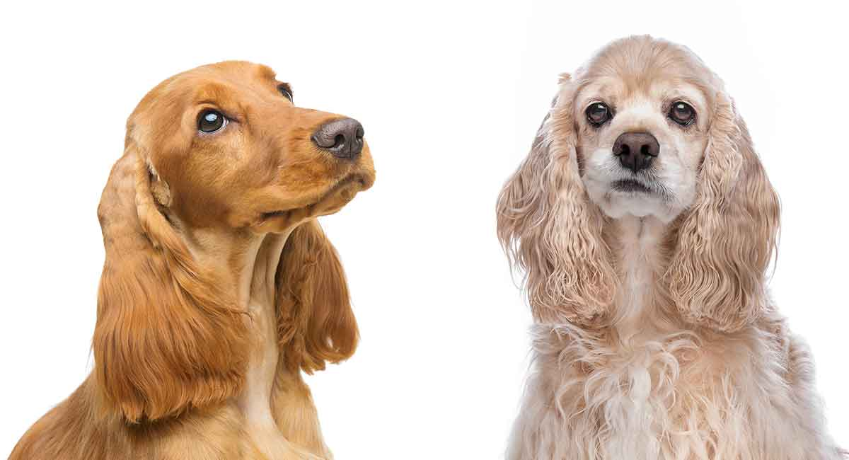 english vs american cocker spaniel